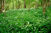 Ramsons in Slitere Blue mountains
